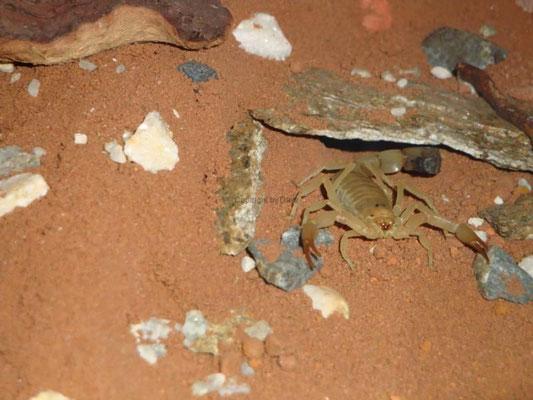 Androctonus australis australis
