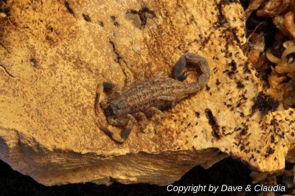Lychas mucronatus instar IV
