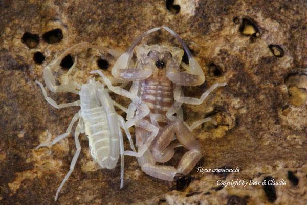 Tityus crassicauda instar IV