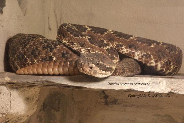 Crotalus oreganus cerberus 1.0