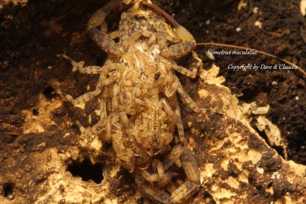 Isometrus maculatus mit instar2 Nachzuchten