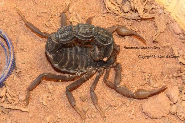 Parabuthus transvaalicus
