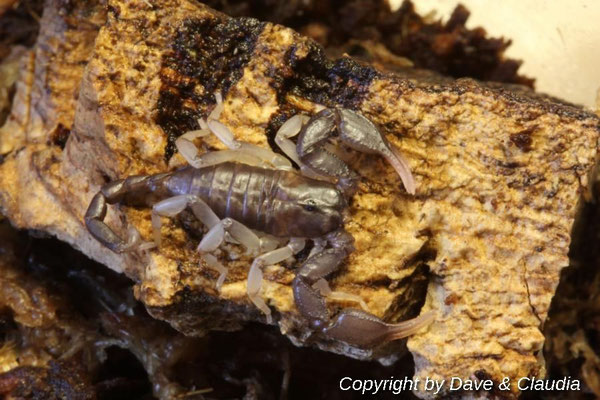 Euscorpius italicus instar V nach Häutung