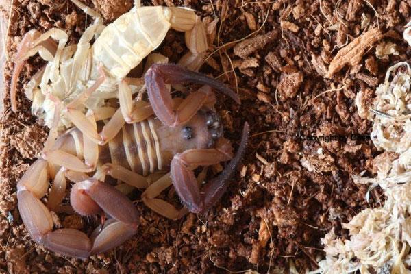 Babycurus gigas 0.1 frisch gehäutet instar VI