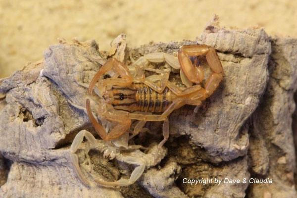 Centruroides elegans instar IV frisch gehäutet