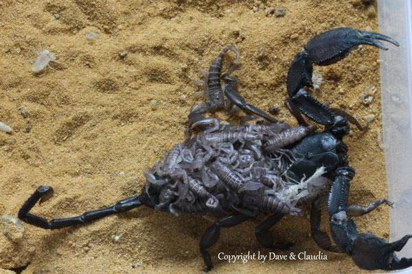 Hadogenes paucidens mit instar I Nachzuchten
