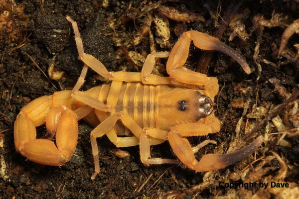 Babycurus jacksoni 0.1 instar V