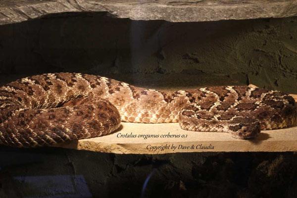 Crotalus oreganus cerberus 0.1