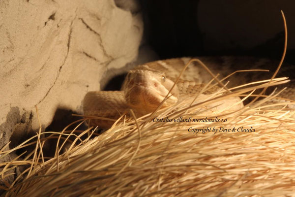 Crotalus willardi meridonalis 1.0