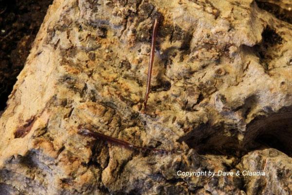 Spermatophore Grosphus madagascariensis
