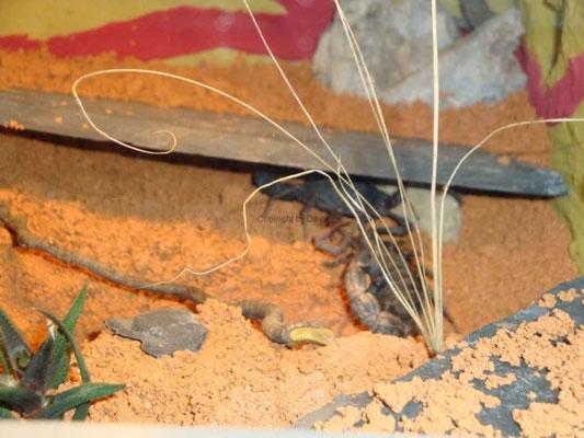 Parabuthus transvaalicus bei der Paarung