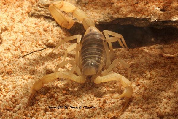 Hadrurus arizonensis 1.0