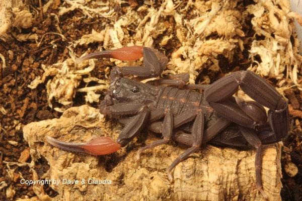Centruroides gracilis dark morph 0.1 adult