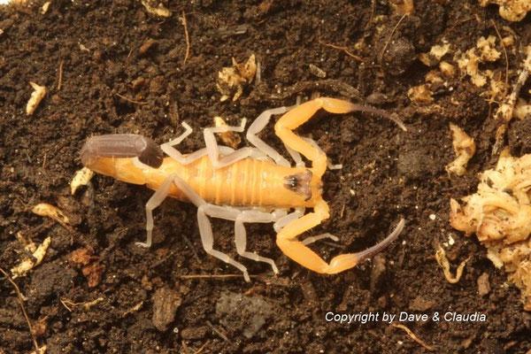 Rhopalurus junceus dark morph instar IV