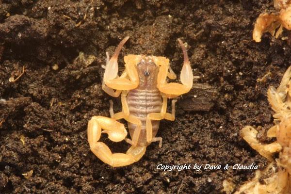 Tityopsis inaequalis instar IV frisch gehäutet