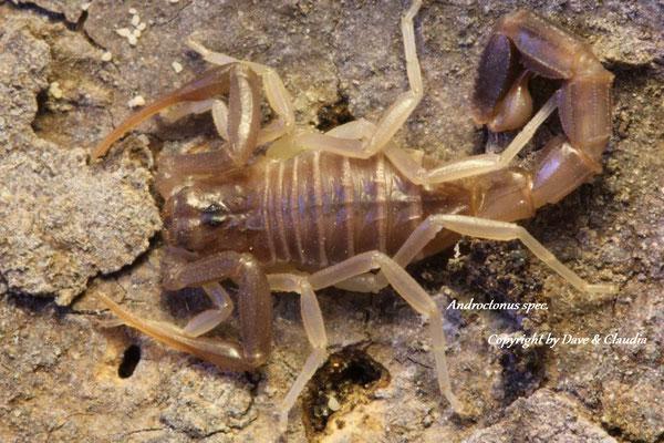 Androctonus spec. instar IV