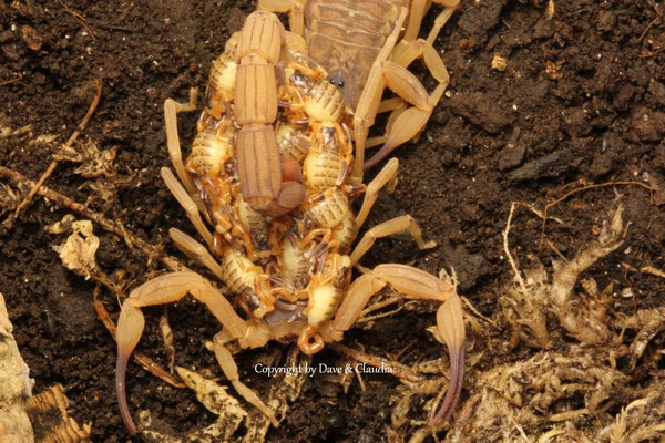 Tityus serrulatus mit instar I  Nachwuchs