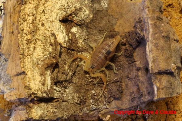 Leiurus quinquestriatus instar III