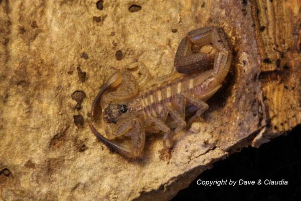 Centruroides nitidus instar IV