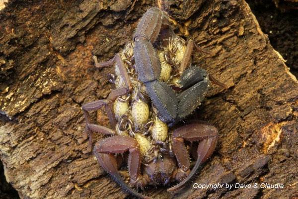 Tityus magnimanus mit instar I Nachzuchten