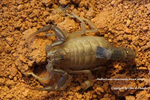 Androctonus crassicauda brown morph 0.1 instar V