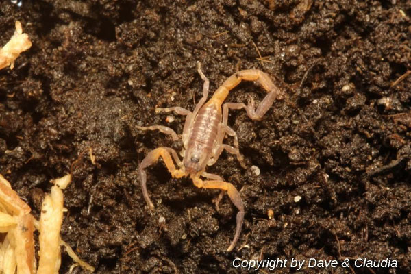 Lychas scutilus instar III