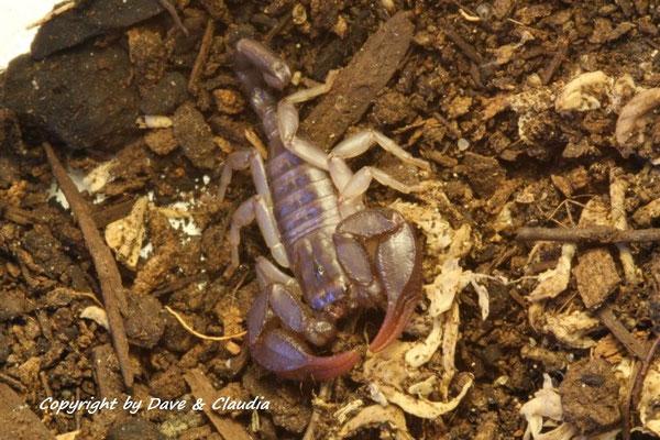 Euscorpius italicus 0.1 instar VI