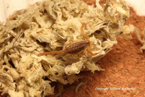 Centruroides infamatus instar II