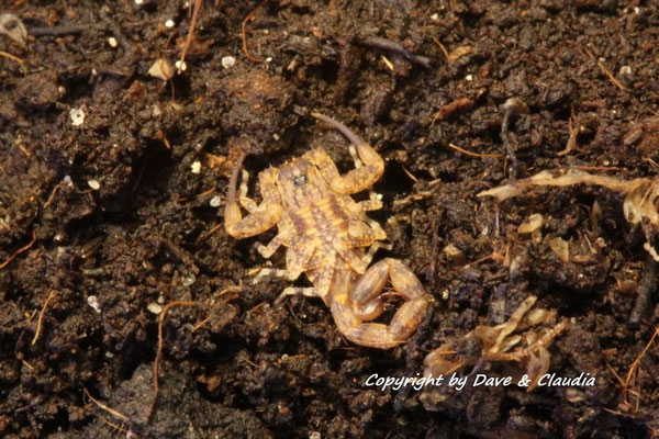 Tityus smithii instar II