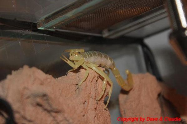 Buthacus arenicola trächtig
