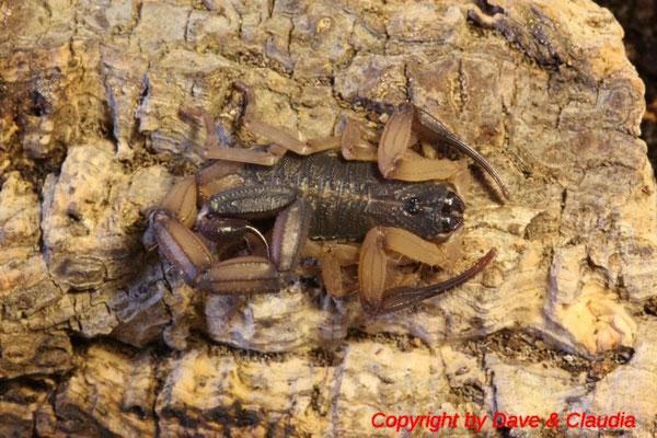 Centruroides bicolor instar V