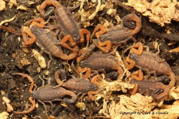 Rhopalurus crassicauda instar IV