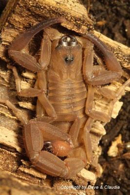 Babycurus jacksoni dark morph instar IV