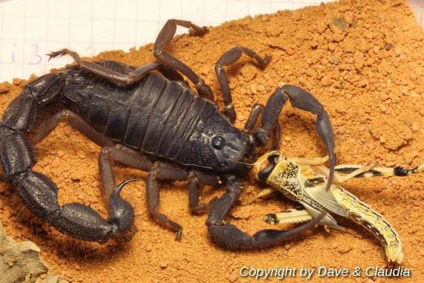 Parabuthus villosus dark morph 0.1