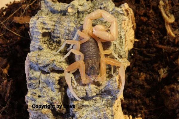 Tityus confluens instar V