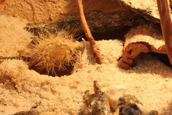 Buthacus arenicola Nachzucht instar II