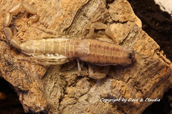 Centruroides nitidus bei Häutung ins instar V