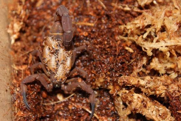 Babycurus jacksoni mit Nachwuchs instar I