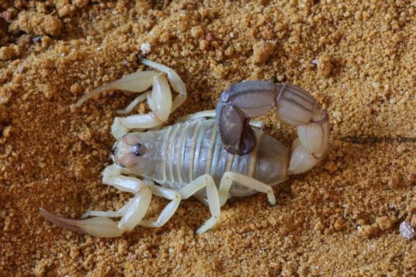 Androctonus australis libycus 0.1 instar VI