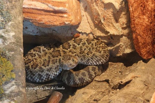 Crotalus scutulatus salvini 0.1