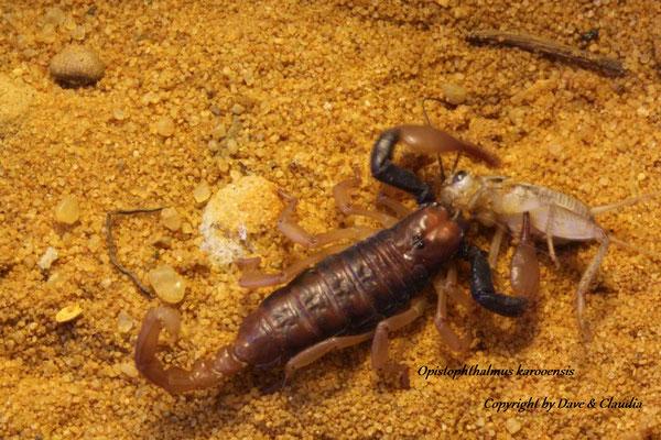 Opistophthalmus karooensis instar II