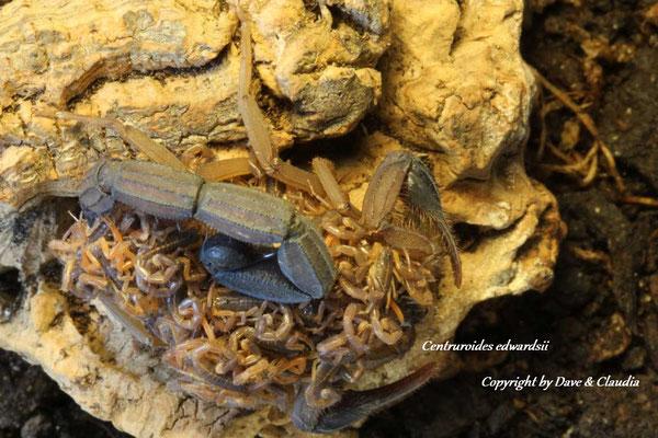Centruroides edwardsii mit Nachzuchten instar II