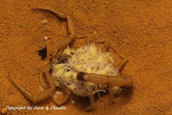 Leiurus quinquestriatus mit Nachwuchs