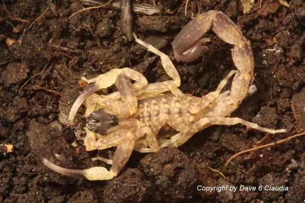 Lychas mucronatus 0.1 instar VI