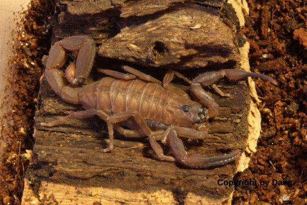 Babycurus jacksoni dark morph instar III