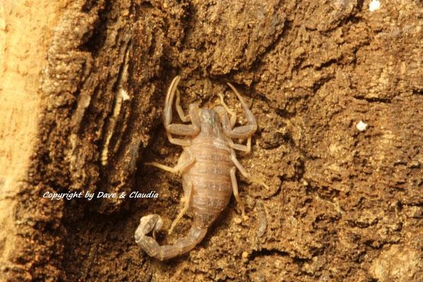 Androctonus mauritanicus instar II