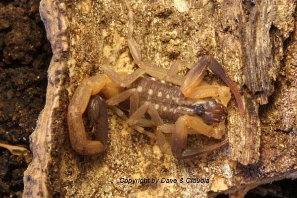 Lychas scutilus 0.1 instar V