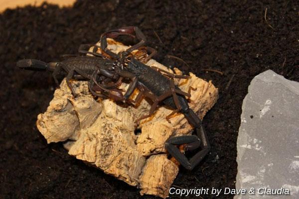 Centruroides gracilis dark morph 1.1 beim Paarungstanz