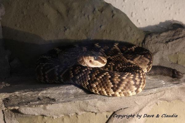 Crotalus molossus nigrescens