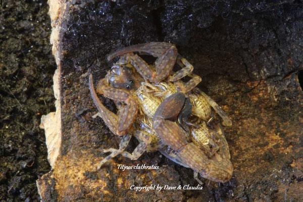 Tityus clathratus mit Nachzuchten im instar I